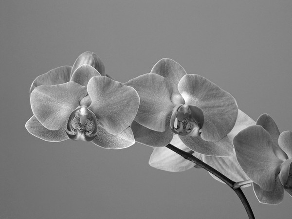 Orchid (55)