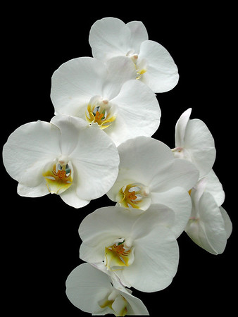 Orchid (62)