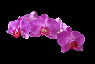 Orchid (58)