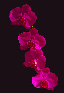 Orchid (61)