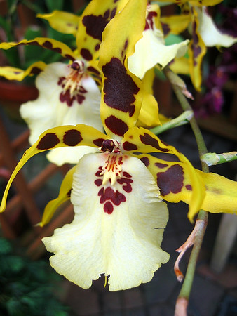 Orchid (56)