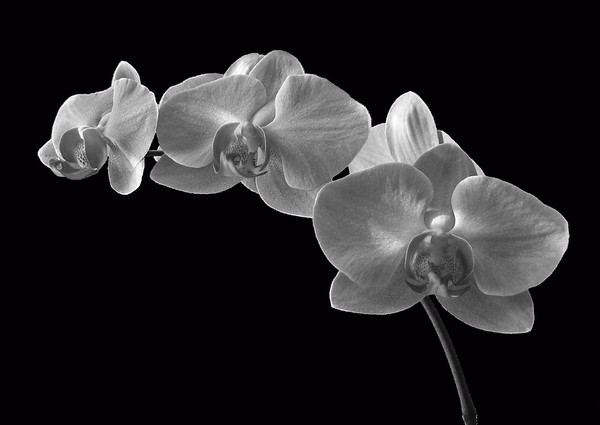 Orchid (49)
