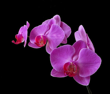 Orchid (52)
