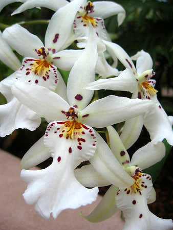 Orchid (11)