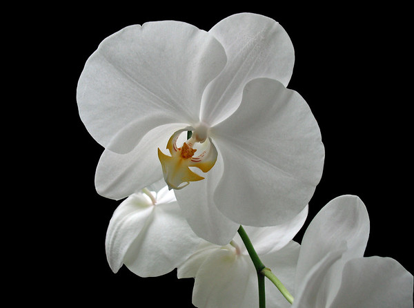 Orchid (64)