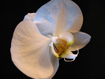 Orchid (16)