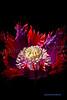 Drama Queen flower