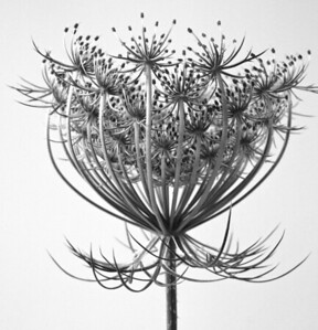 Queen Annes Lace  BW (6)