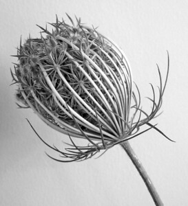 Queen Annes Lace  BW (11)