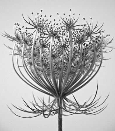 Queen Annes Lace  BW (8)
