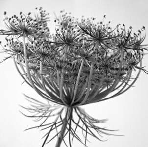 Queen Annes Lace  BW (10)
