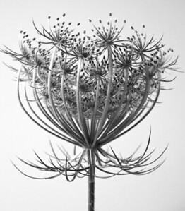Queen Annes Lace  BW (7)