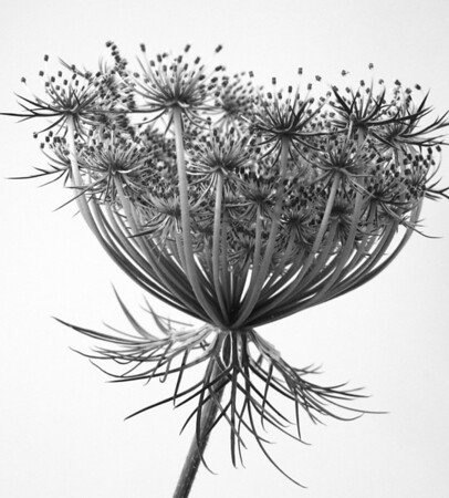 Queen Annes Lace  BW (9)