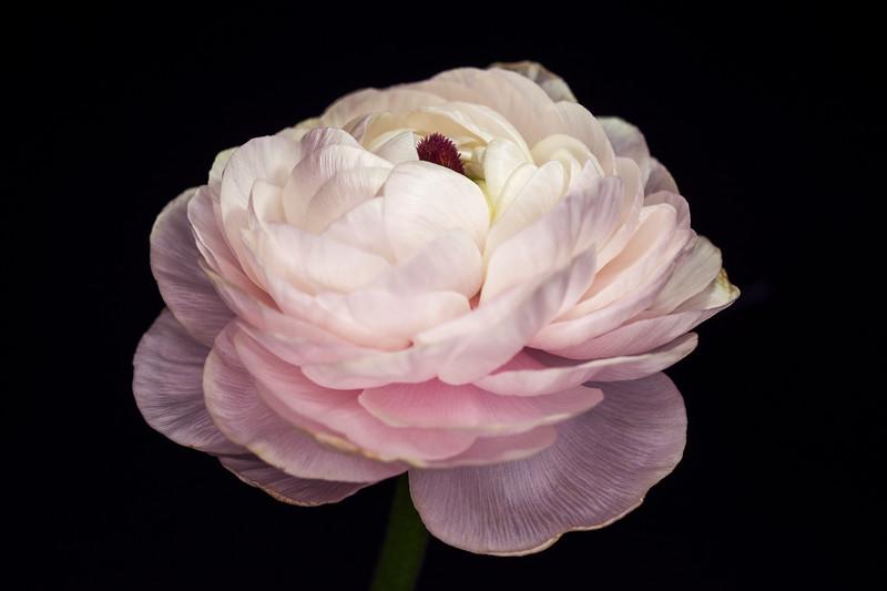 Pink Ranunculus 2