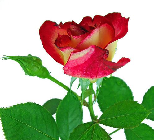 Red Floral (Rose) 11