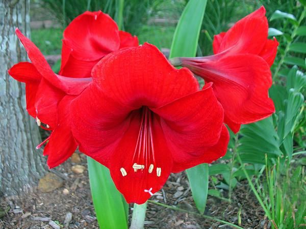 Red Floral (Amaryllis) 2