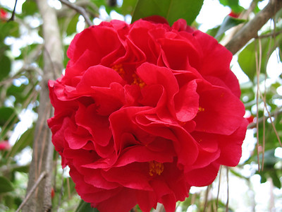 Red Floral (Gardenia) 2