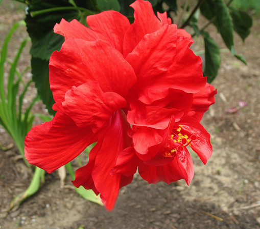 Red Floral (Hibiscus) 2