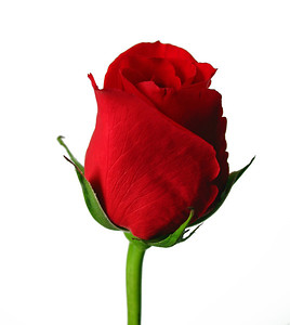 Red Floral (Rose) 7