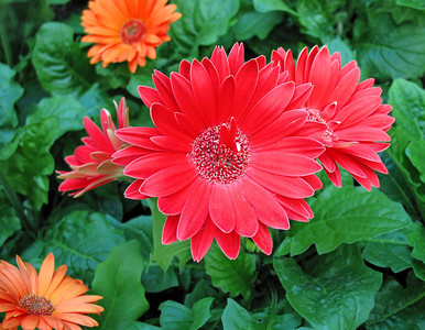 Red Floral (Gerbera Daisy) 2