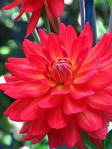 Red Floral (Dahlia)  2