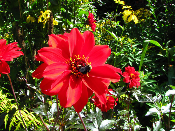 Red Floral (Dahlia) 3