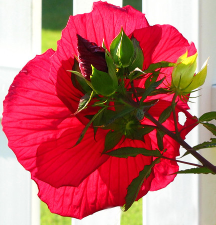 Red Floral (Hibiscus) 3