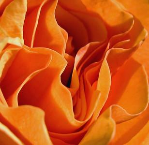 Orange Roses (1)