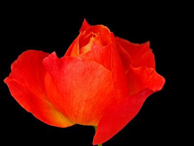 Orange Roses (14)
