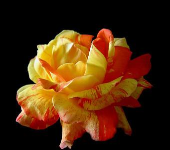 Orange roses (5)