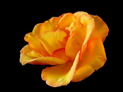 Orange Roses (17)