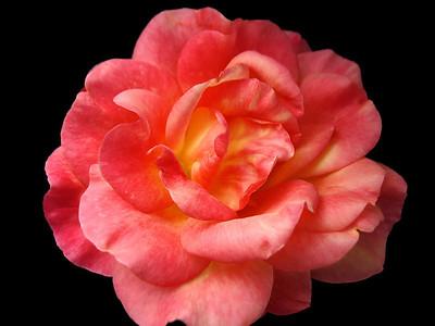 Orange Roses (20)