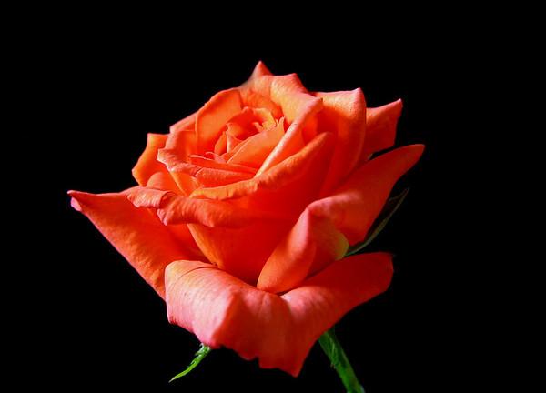 Orange Roses (7)