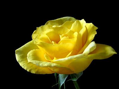 Yellow Roses (17)