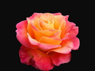 Orange Roses (19)