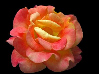 Orange Roses (22)