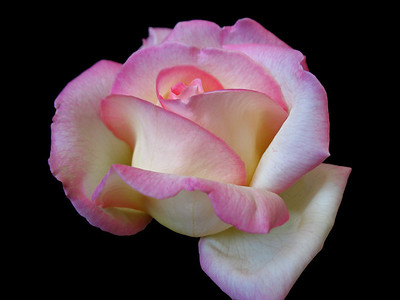 Pink Roses (10)