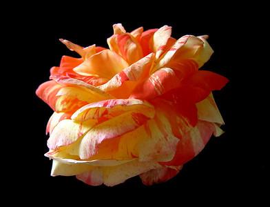 Orange Roses (4)