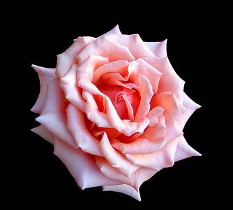 Peach Roses (8)