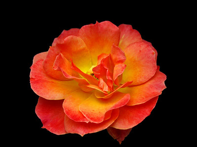 Orange Roses (11)