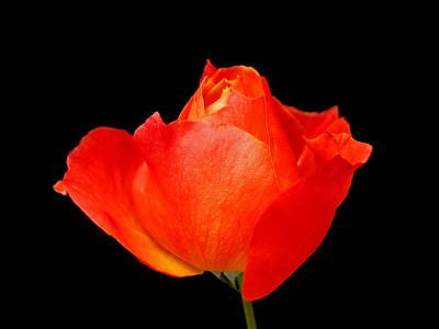 Orange Roses (13)