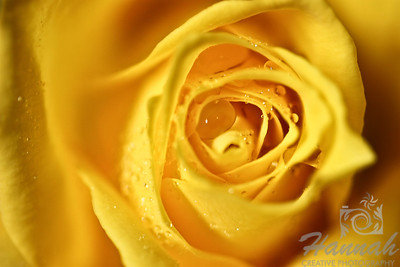Single Yellow Rose with Water Droplets Top View  © Copyright Hannah Pastrana Prieto