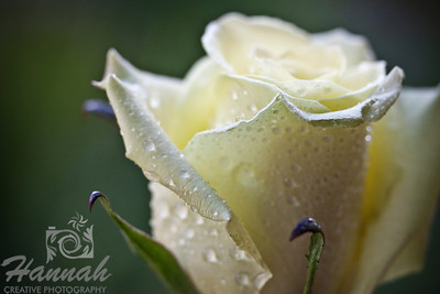 Single Light Yellow Rose with Water Droplets, Macro Shot for Fine Arts   © Copyright Hannah Pastrana Prieto