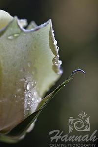 Single White Rose Half Side View Macro Shot for Fine Arts   © Copyright Hannah Pastrana Prieto