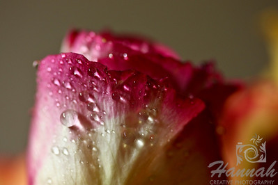 Single Pink Rose with Water Droplets side view  © Copyright Hannah Pastrana Prieto