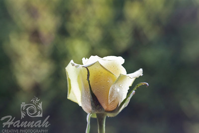 Single Light Yellow Rose with Hearts Flare Background  Shot with the Lensbaby Composer and the Creative Aperture Heart disk  © Copyright Hannah Pastrana Prieto