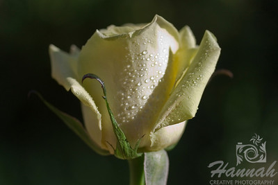 Single Light Yellow Rose with Water Droplets, Centered Macro Shot for Fine Arts   © Copyright Hannah Pastrana Prieto