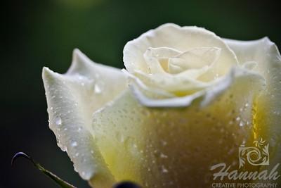 Single Light Yellow Rose   © Copyright Hannah Pastrana Prieto