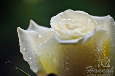 Single Light Yellow Rose   © Copyright Hannah Pastrana Prieto