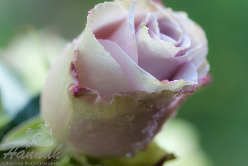 Single Pink Lavender Rose with Magenta Streaks, Soft Focus, Macro Shot for Fine Arts   © Copyright Hannah Pastrana Prieto